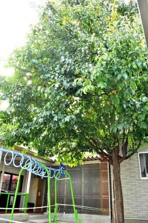 酒田保育園 樹木